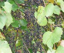 Image result for Wild Grape Vine
