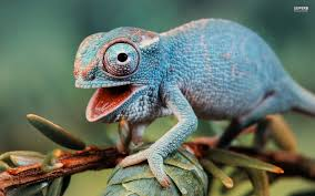 Image result for chameleons