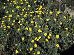 Potentilla nivea (Snow cinquefoil) | Native Plants of North America
