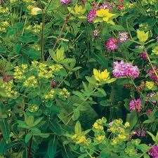 Euphorbia palustris - FineGardening