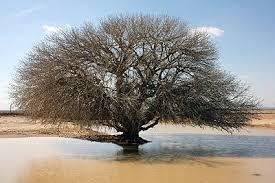 Heilige pistache boom