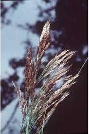Plants Profile for Phragmites australis (common reed)
