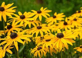 Grow Black Eyed Susan – How to Plant & Care for Rudbeckia ...