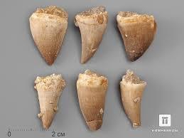 8-6/12 Зуб мозазавра <b>окаменелый</b> (Mosasaurus anceps), <b>2-3 см</b>