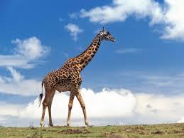 Rezultat iskanja slik za žirafa
