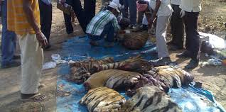 ways you can contribute to save wild india tiger hacked into pieces by poachers