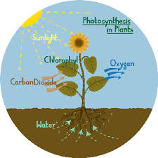 photosynthesis diagram of a flower   plants and animals   social    the word     water     is written in blue font next to the roots  and arrows indicate the role of water in photosynthesis