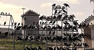 「ヒッチコック鳥」の画像検索結果