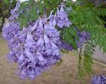 Images & Illustrations of jacaranda