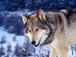Manada Lobos fuertes Images?q=tbn:ANd9GcTyAcldKQupFXoG4TQWkCZWnM_7Y6Kh-gb4xB884H1xSHkP9d39