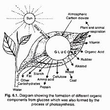 the process of photosynthesis in plants  with diagram in other words  we can say that photosynthesis is transformation of solar energy radiant energy light energy  ultimate source of energy for all living