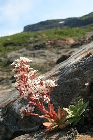 Saxifraga cotyledon - Wikipedia