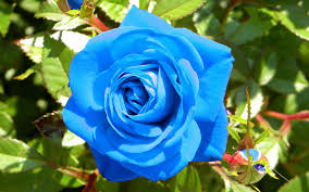Image result for images of blue rose hd