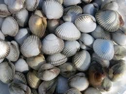 """Résultat de recherche d'images pour """"coques coquillages"""""""