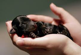 Image result for dachshunds puppy