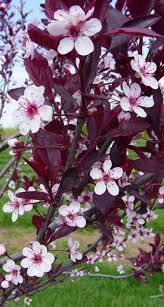 Option for <b>Back</b> Stairway/Deck Screen - Prunus x cistena (<b>Purple</b> ...