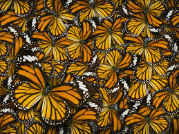 The most <b>beautiful butterflies</b> in the world - Monarch butterfly
