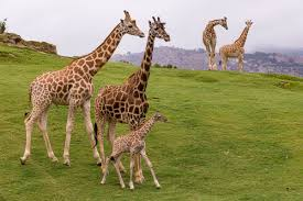 <b>Giraffe</b> Cam | San Diego Zoo Safari Park Official Site | We Are Open!