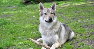 10 пород собак, о которых вы, возможно, даже не слышали - DELFI