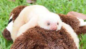 Image result for sloth baby