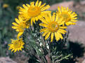 Images & Illustrations of alpine sunflower