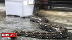 Indiana <b>woman</b> found dead with python wrapped <b>around neck</b> - BBC ...
