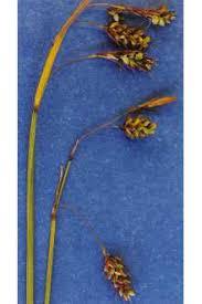 Carex magellanica subsp. irrigua - Wikipedia