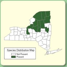 Juncus filiformis - Species Page - NYFA: New York Flora Atlas
