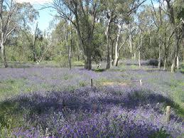 Echium plantagineum in Australia - Wikipedia