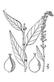 Plants Profile for Polygonum hydropiper (marshpepper knotweed)