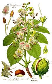 Aesculus hippocastanum - Wikipedia