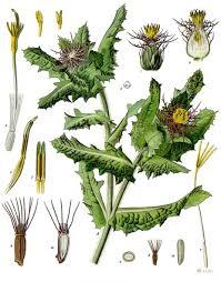 Centaurea benedicta - Wikipedia