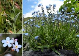 Myosotis alpestris F.W.Schmidt - Sistema informativo sulla flora delle ...