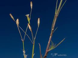 Silene inaperta subsp. serpentinicola - Flora de Andalucía