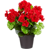 Staande geranium